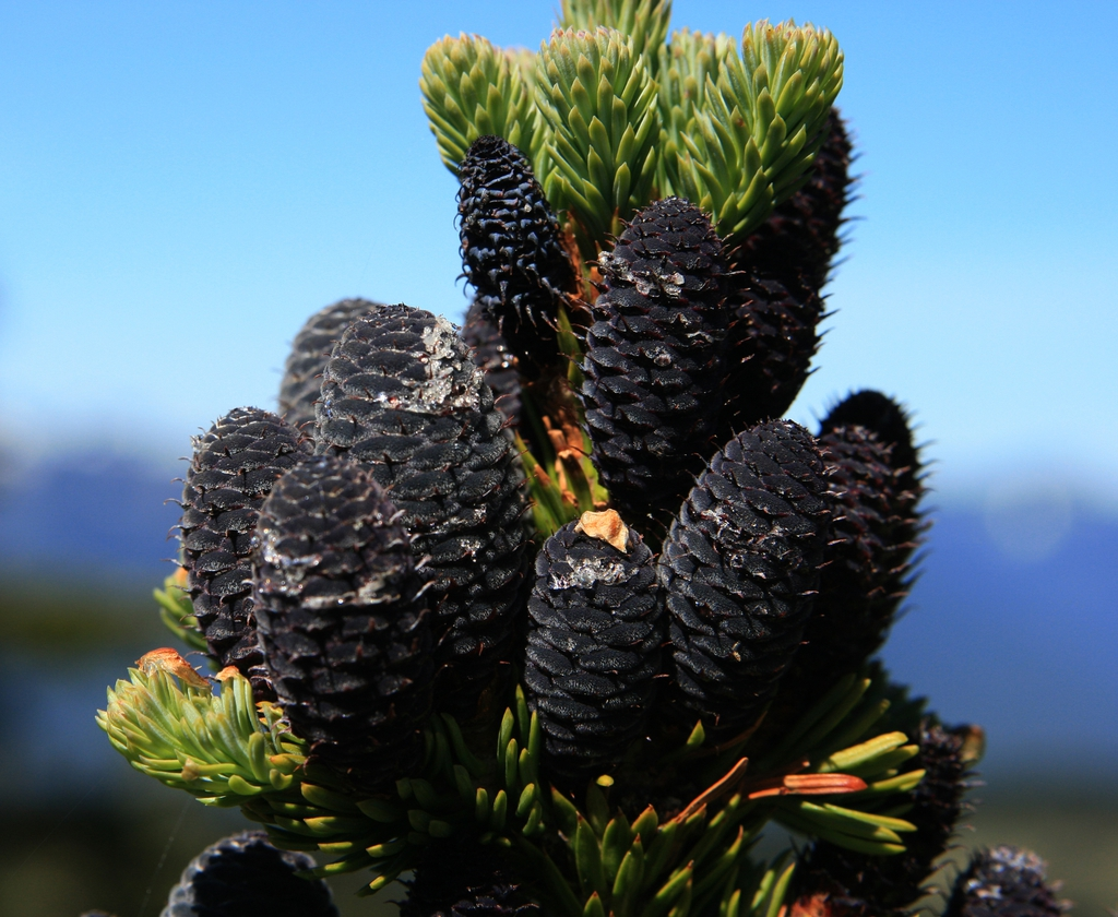 Abies lasiocarpa youngcones
