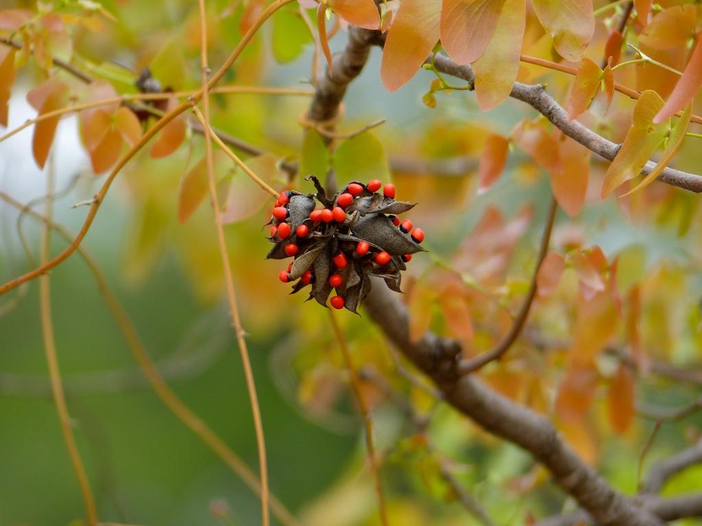 Abrus preatorius seed pod2