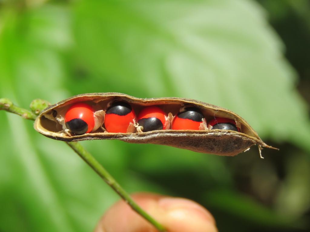 Abrus precatorius seed pod