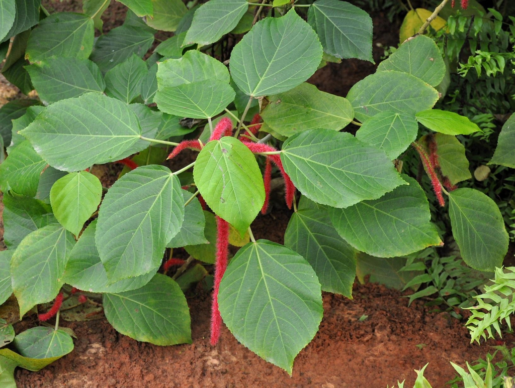 Acalypha hispida leaves