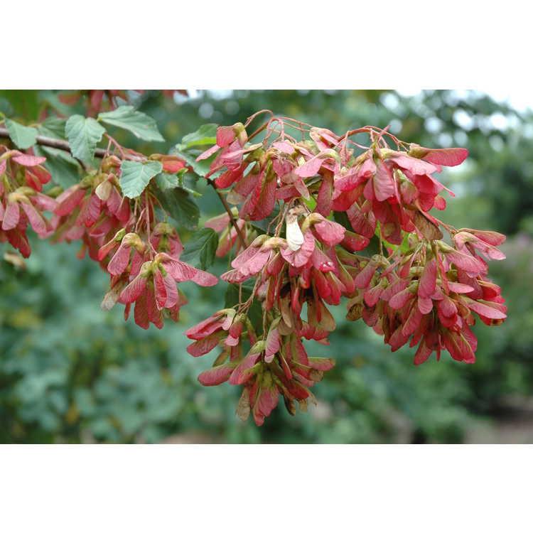 Acer tataricum 'Red Wing' fruits (samaras)