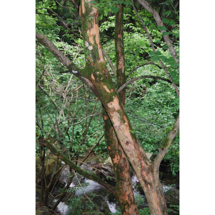 Acer buergerianum bark