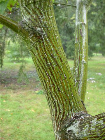 Acer capillipes bark