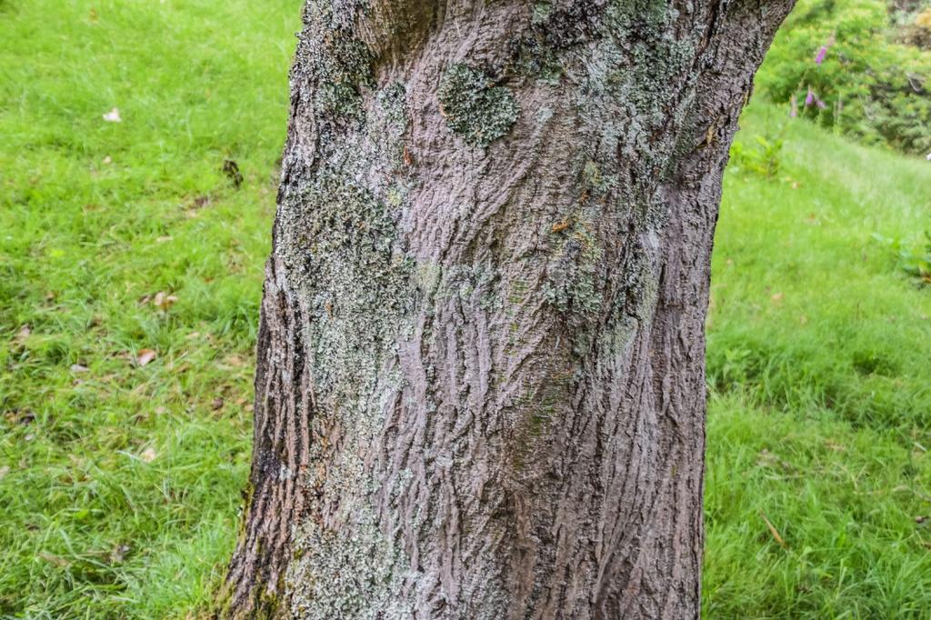 Acer capillipes bark