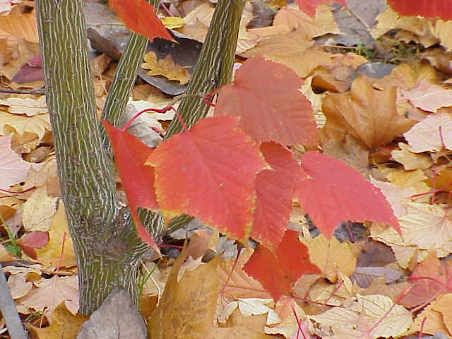 Acer capillipes fall color