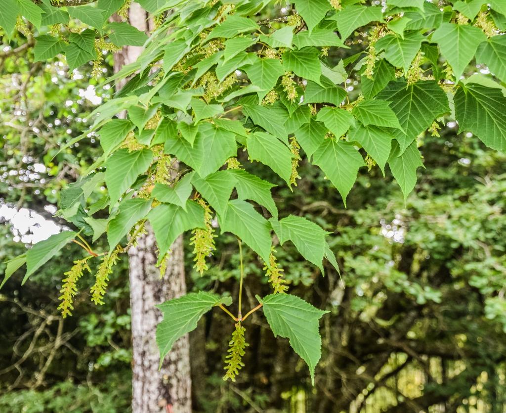 Acer capillipes leaves