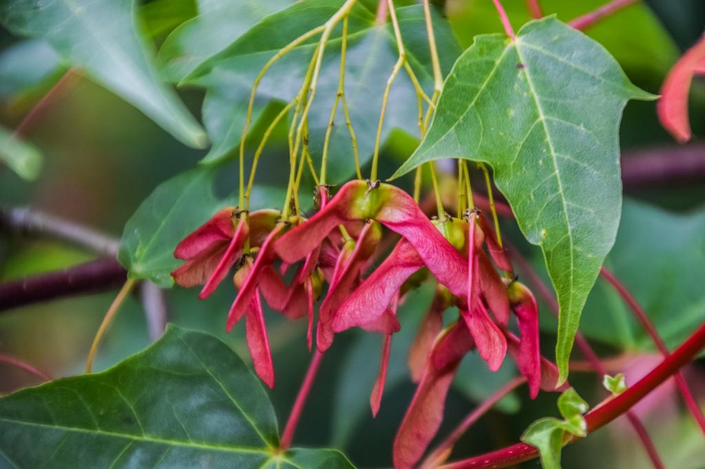 Acer Cappadocicum spp sinicum samaras