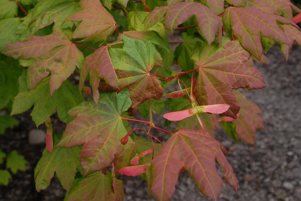 Acer circinatum Leaf