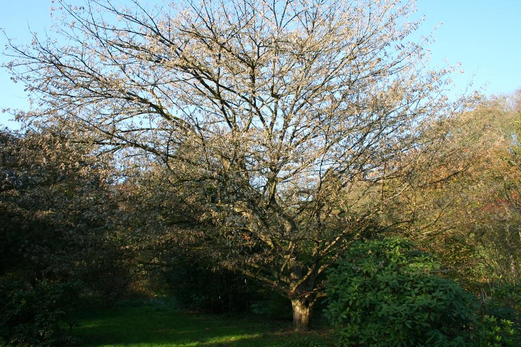 Acer cissifolium form