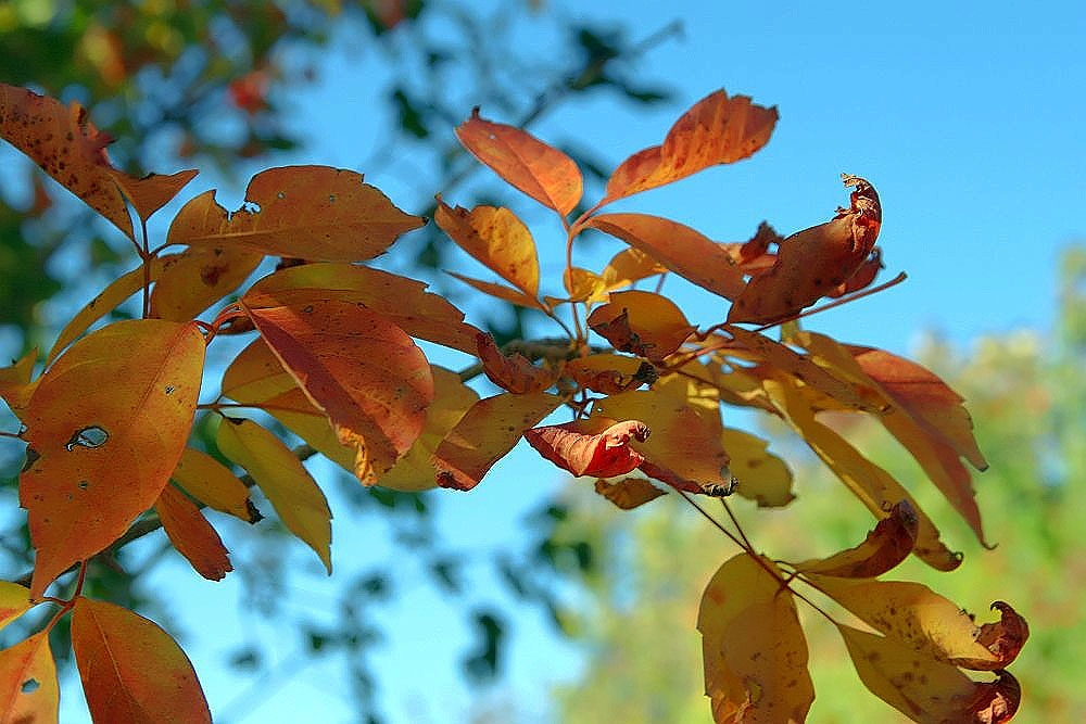Acer cissifolium henryi