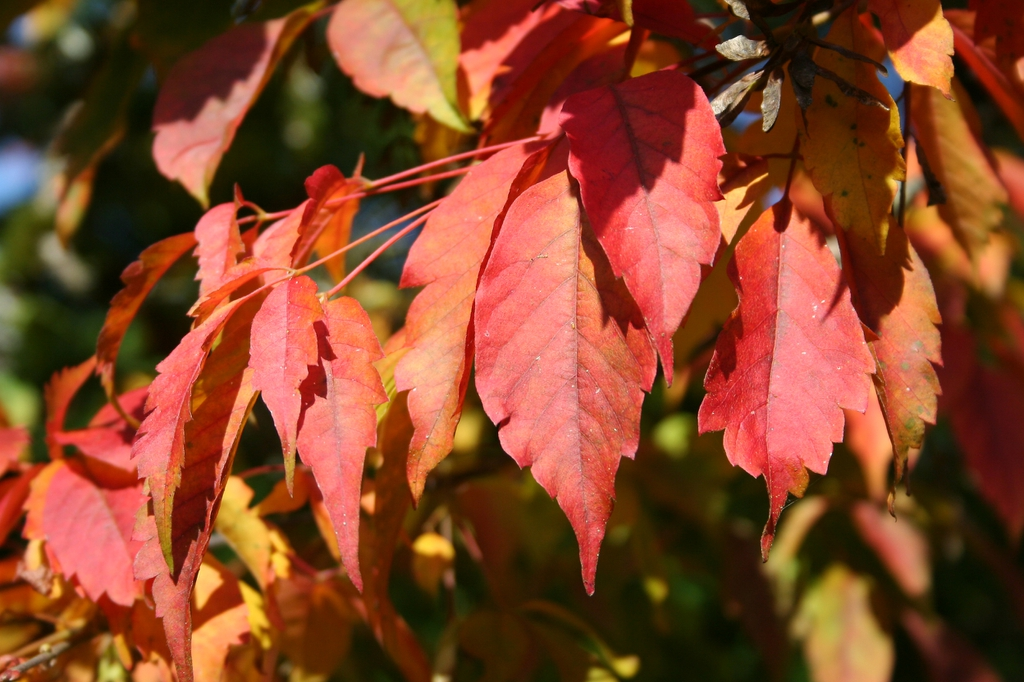 Acer cissifolium leaves