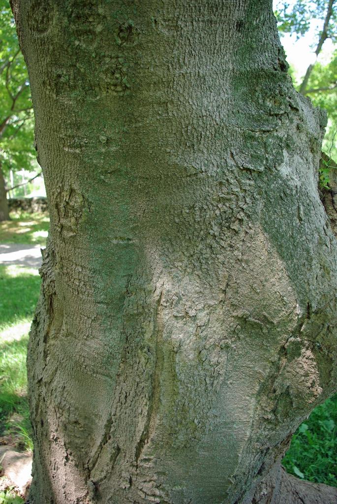 Acer diabolicum bark