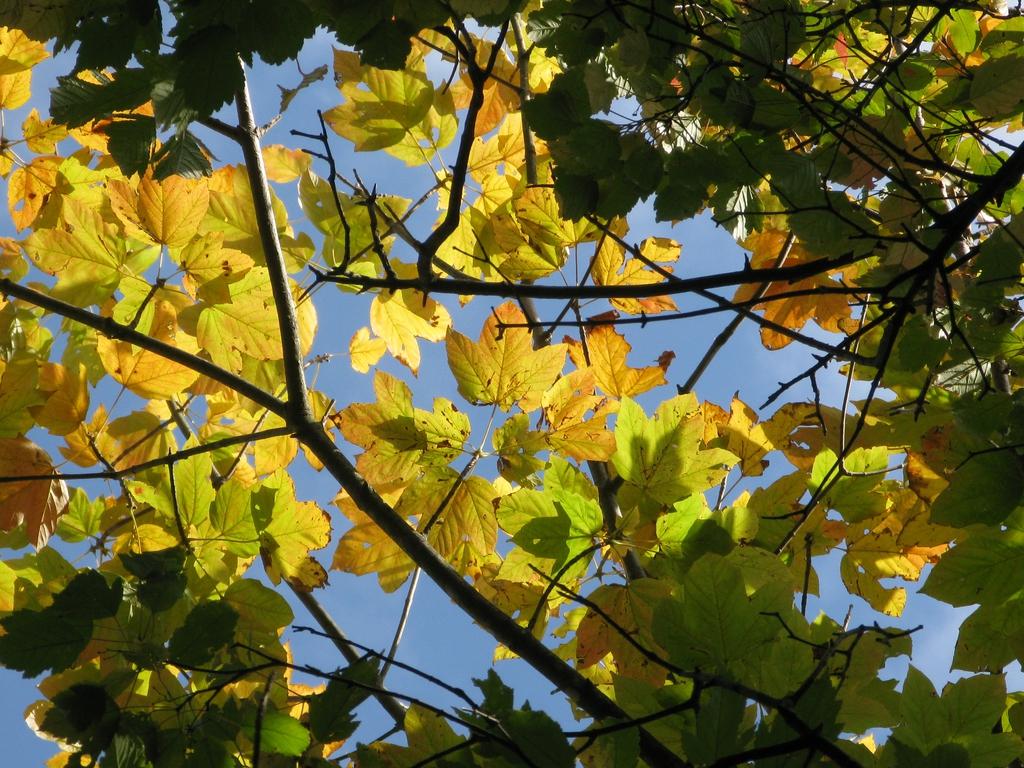Acer diabolicum fall color