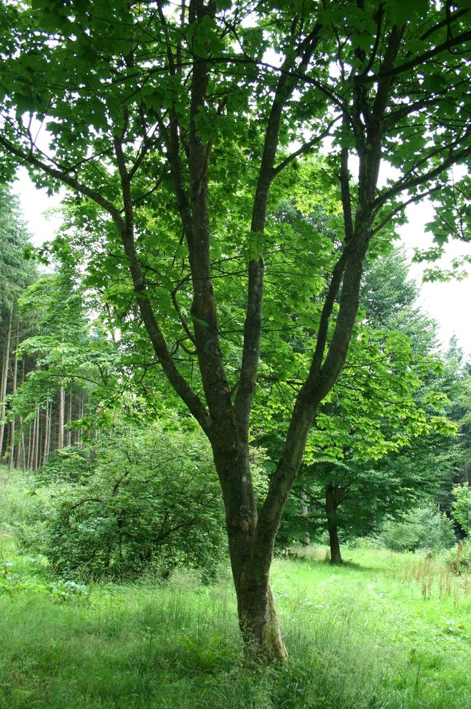 Acer diabolicum form