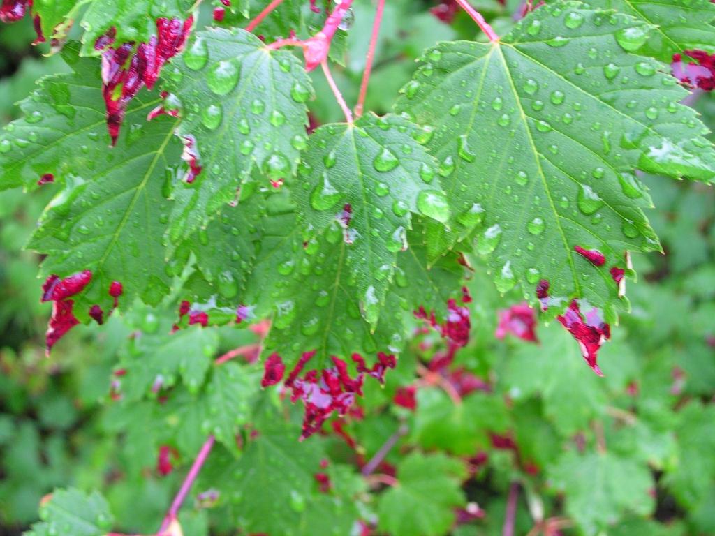 Acer glabrum douglasii Douglas Maple leaf