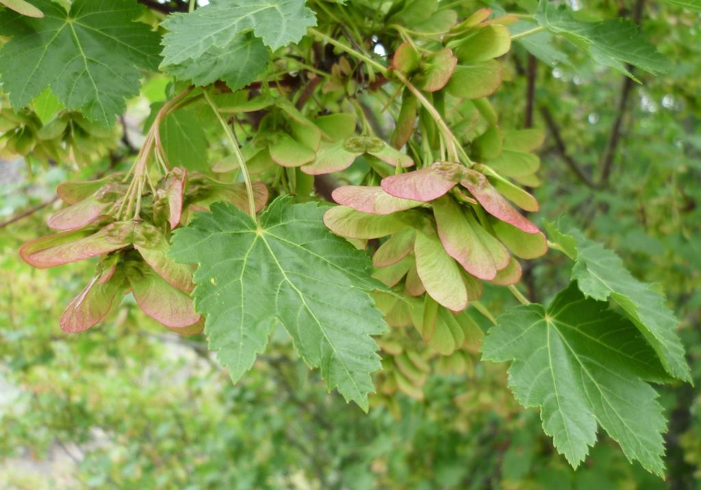Acer glabrum var. douglasii