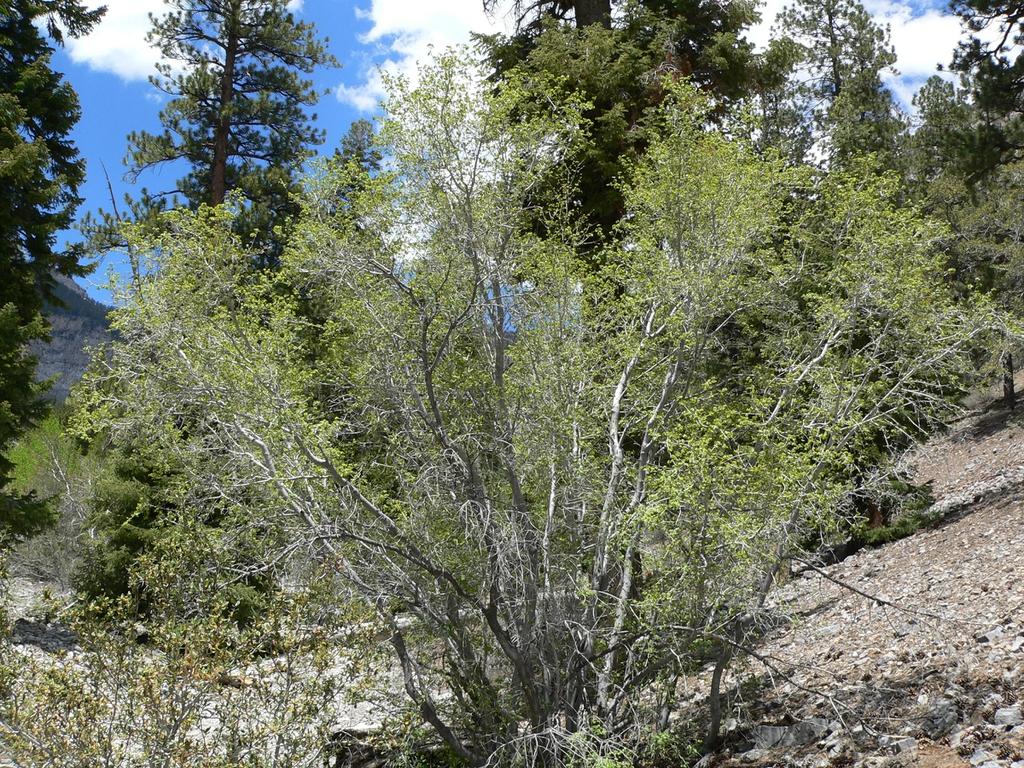 Acer glabrum var diffusum