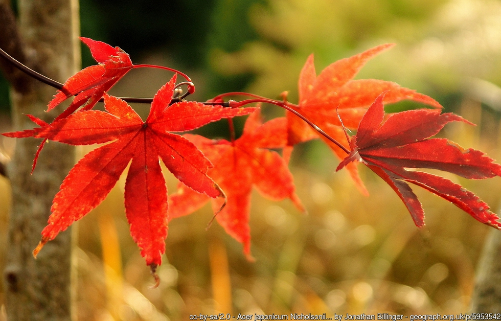 Acer japonicum Nicholsonii foliage