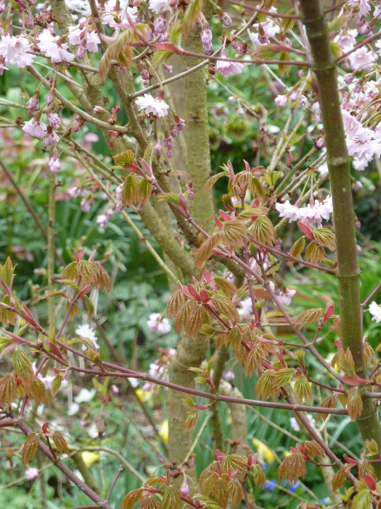 Acer japonicum new foliage