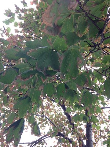 Acer leucoderme (Chalk Maple)