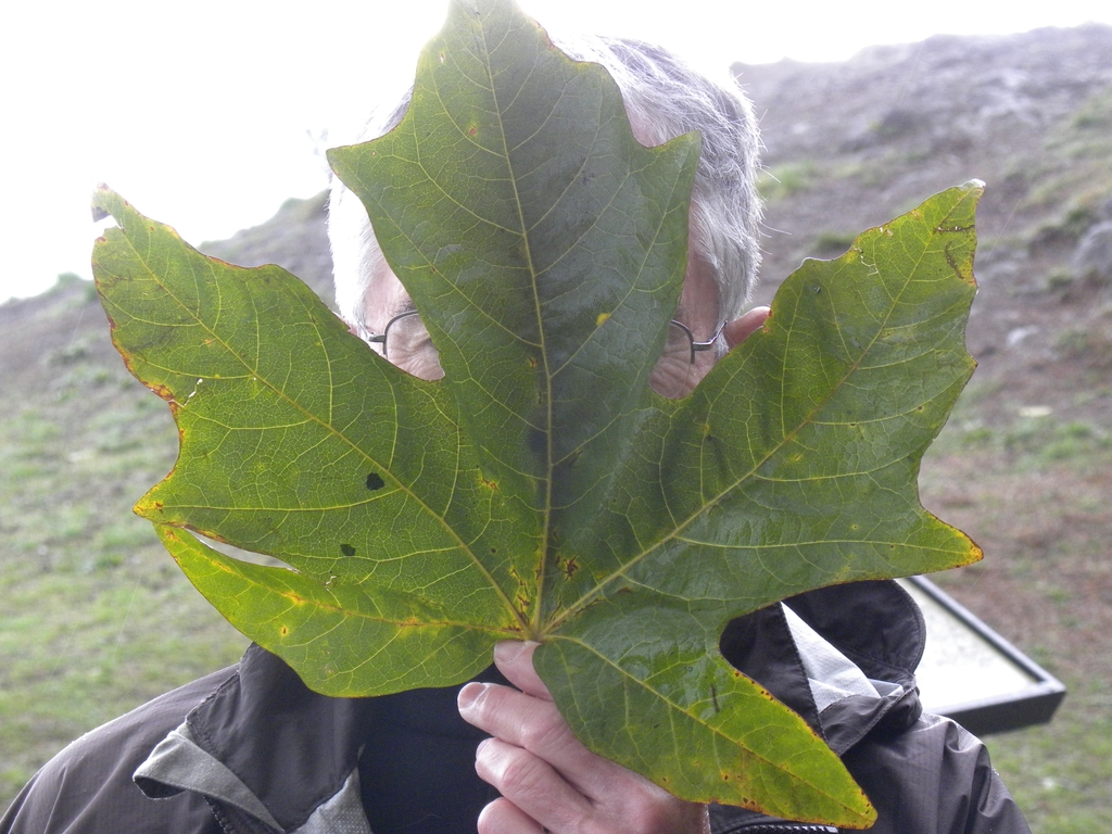 Showing the size of the leaf