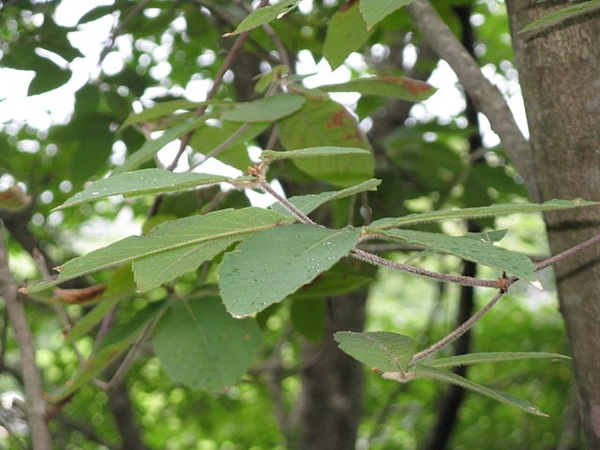 Acer maximowiczianum foliage