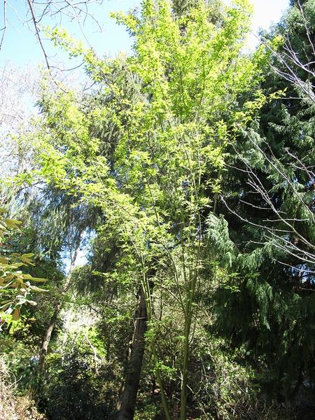 Acer maximowiczianum habit