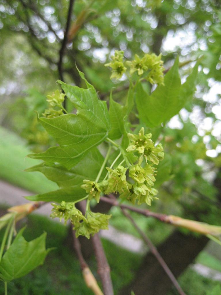 Acer mono Flower