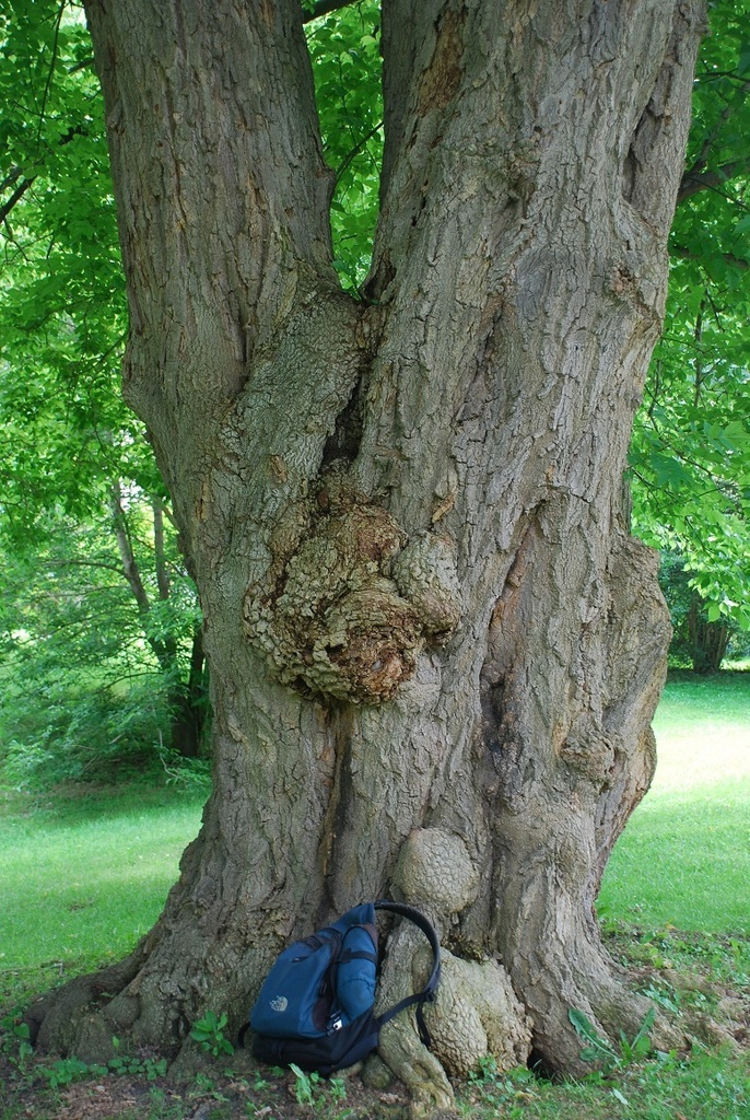 Tree trunk (Highland Park, Rochester, NY)-Mid Summer