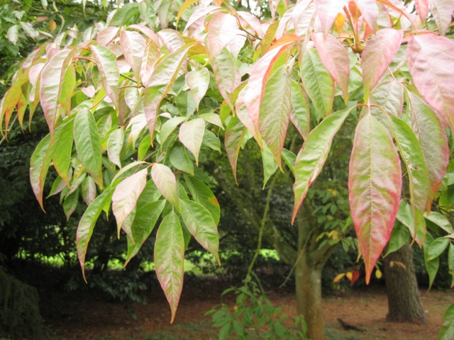 Acer nikoense