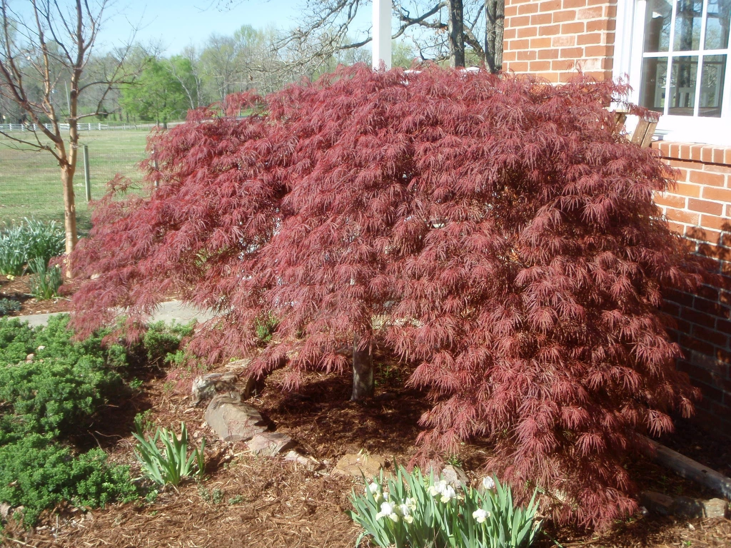 Acer palmatum 'Bloodgood' Fall Color