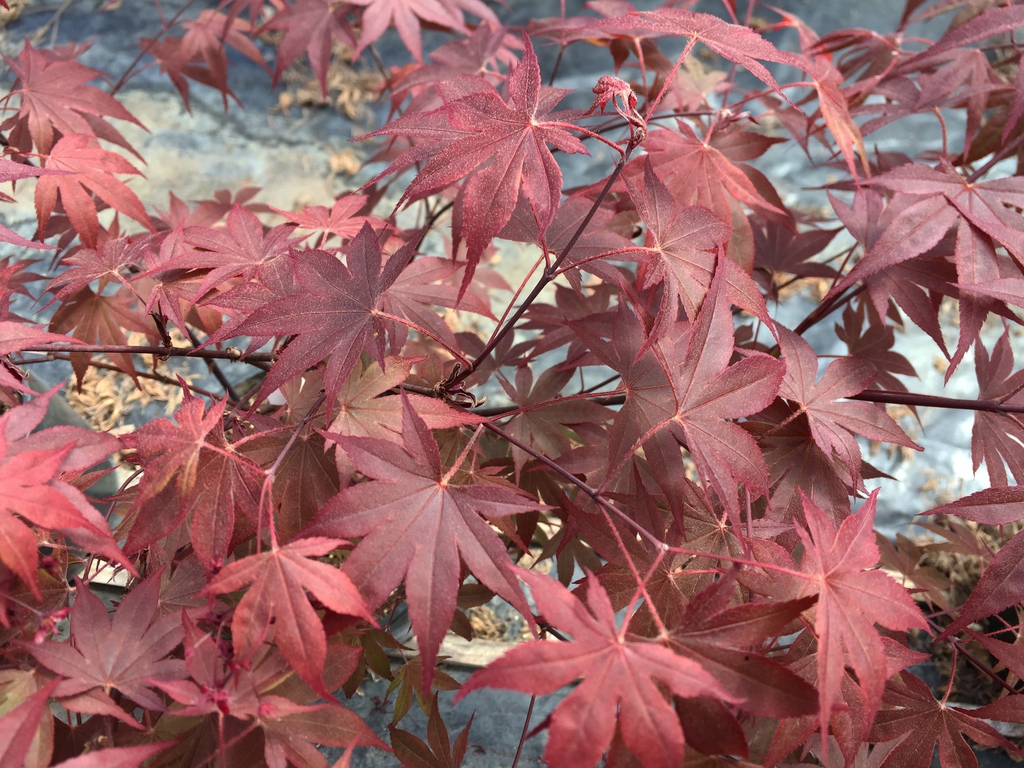 'Fireglow' leaves