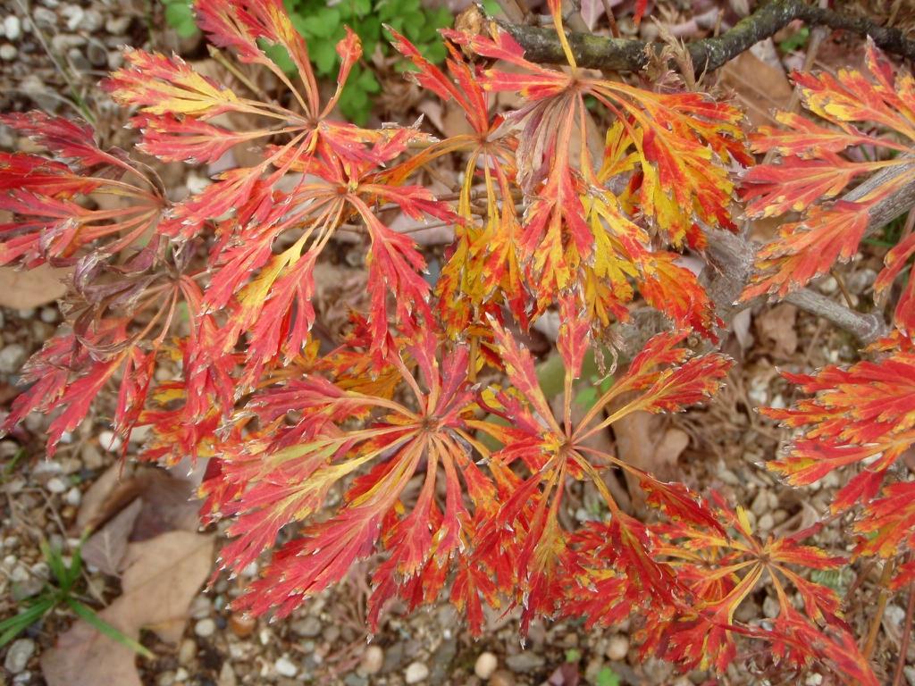 Acer palmatum 'green cascade' leaf