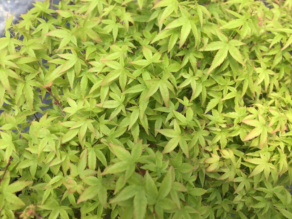 'Murasaki Kiyohime' leaf