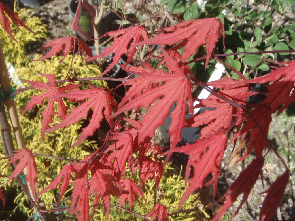 Acer palmatum 'Purple Ghost' Fall Color Leaves