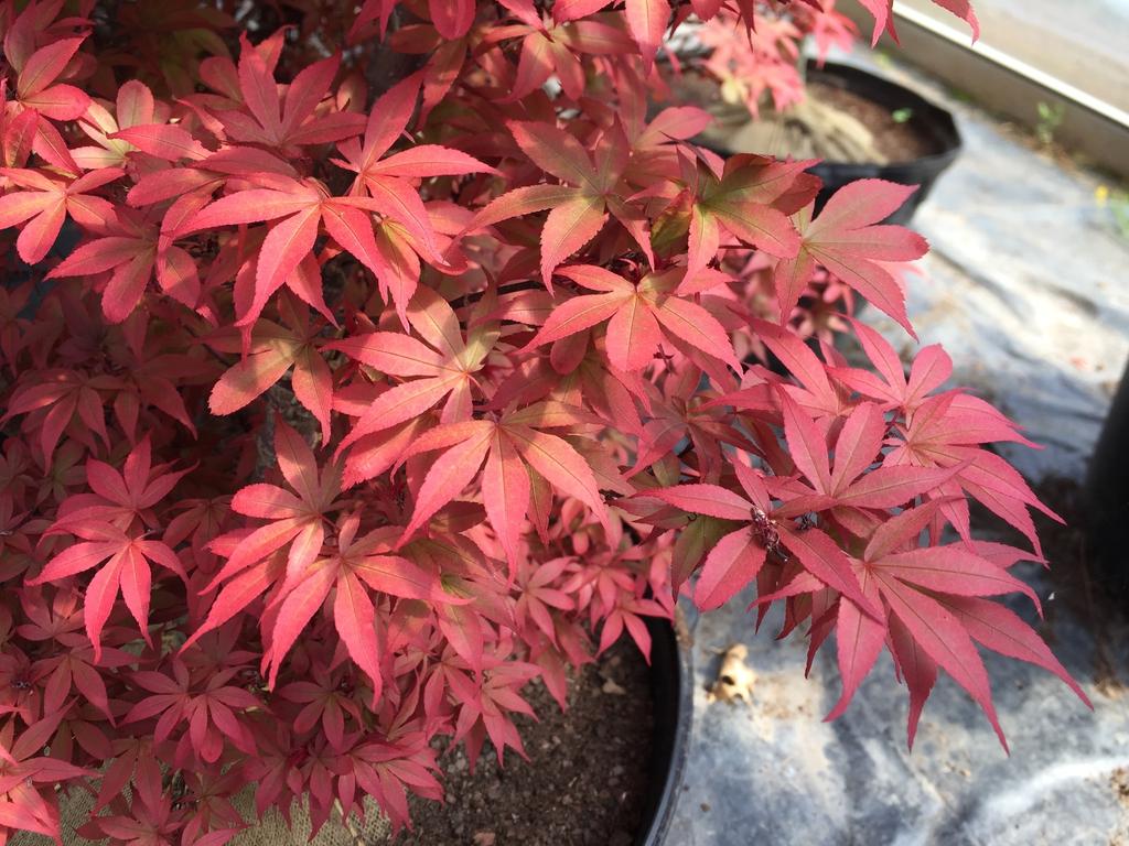 'Red Sentinel' leaf