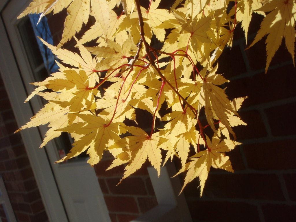 Acer palmatum 'Sango-kaku' - Fall color bottom of leaf