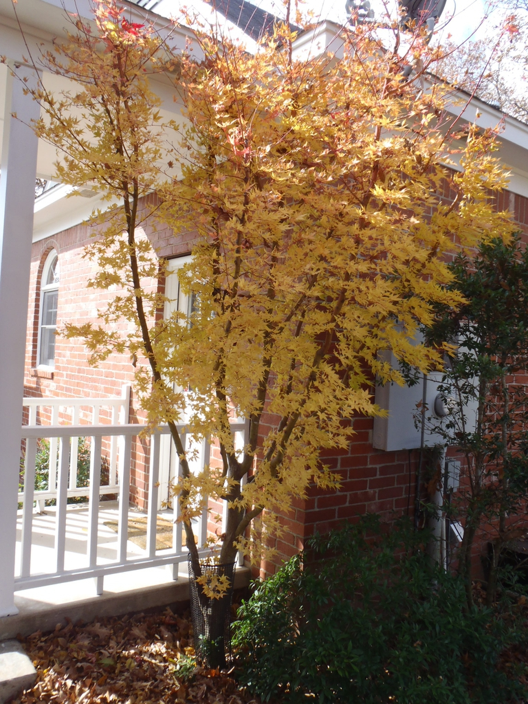 Acer palmatum 'Sango kaku' fall form