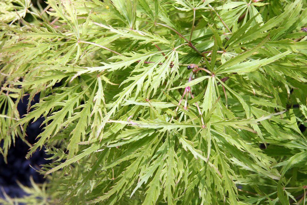 Acer palmatum var. dissectum 'Viridis'