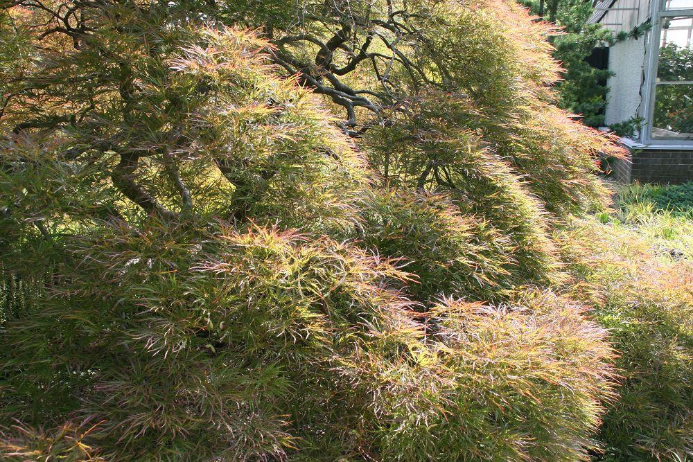 Acer palmatum var. dissectum 'Ornatum'
