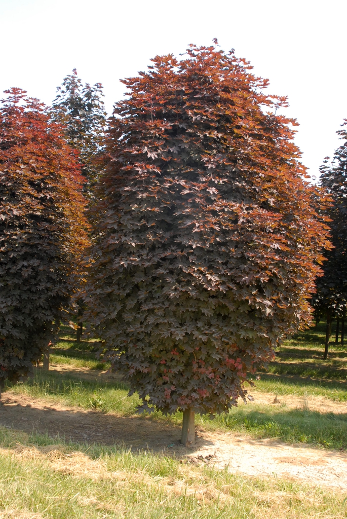 Acer platanoides 'Crimson Sentry' Tree