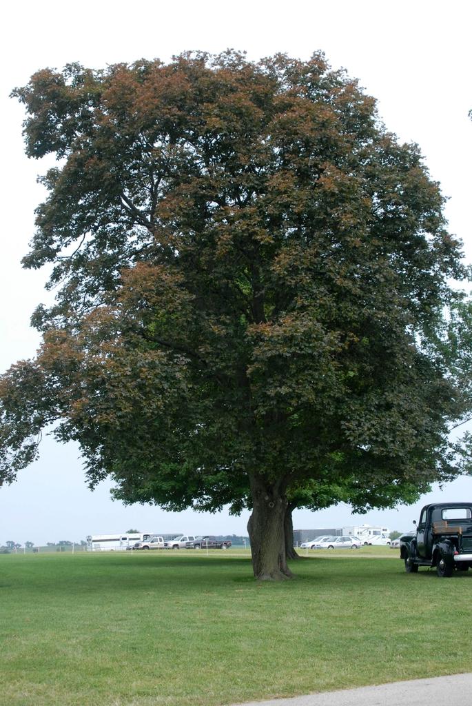 Acer platanoides 'Schwedleri' - full tree