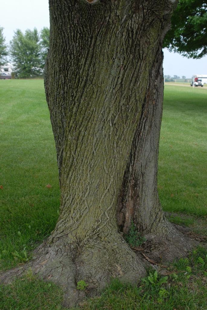Aver platanoides - bark