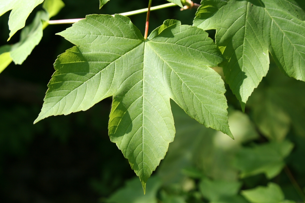 Acer pseudoplatanus leaf