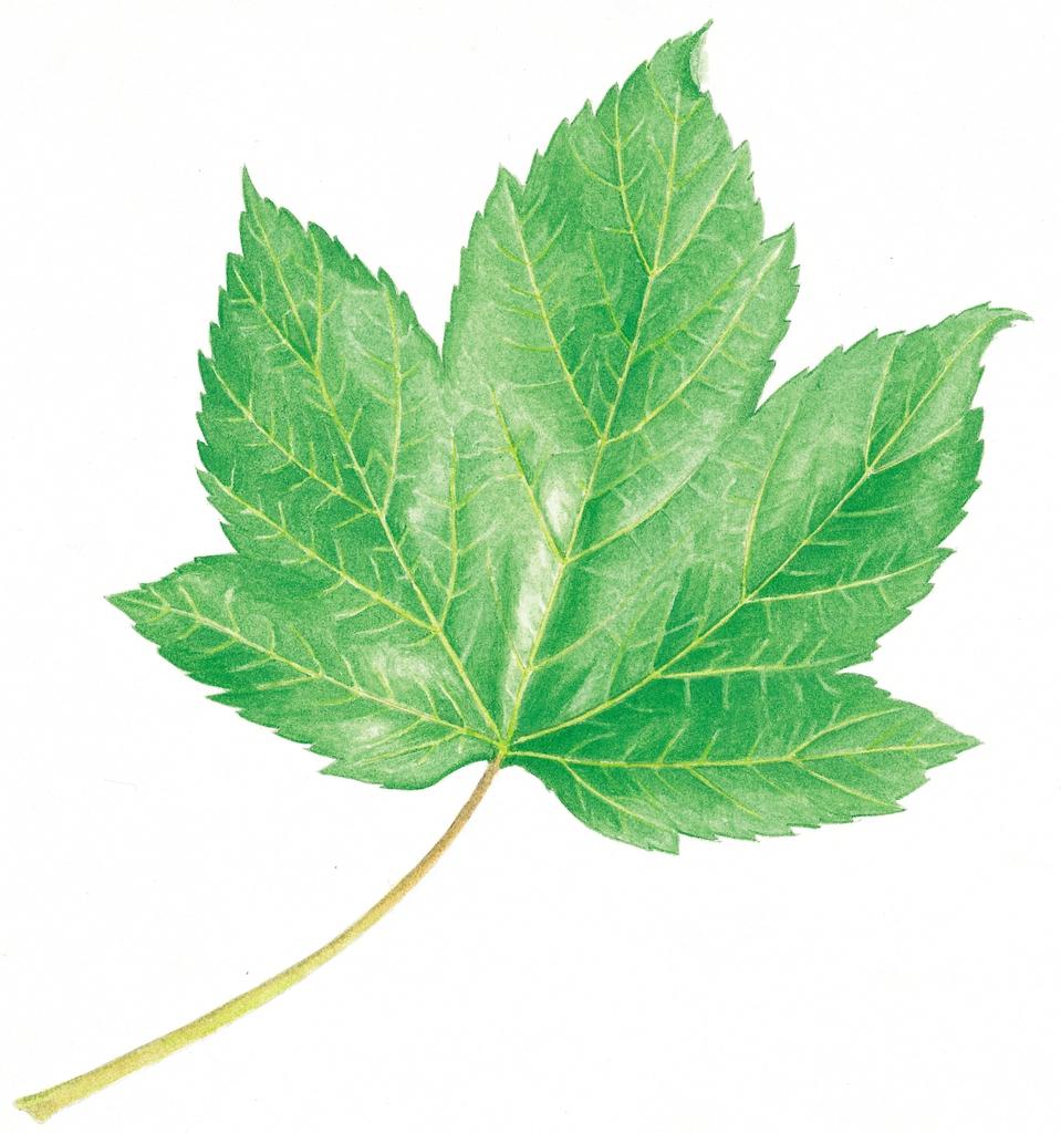 Acer pseudoplatanus leaf illustration