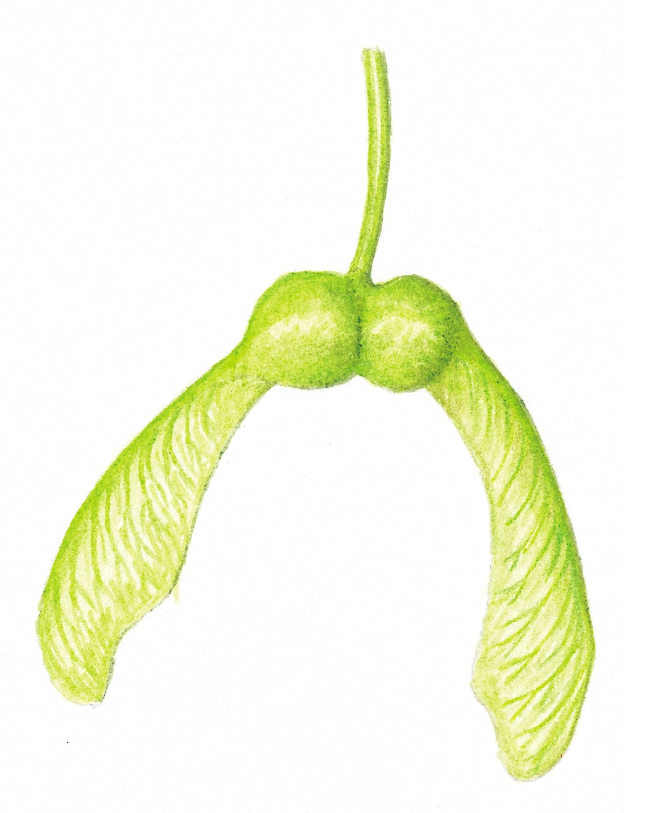 Acer pseudoplatanus seed illustration