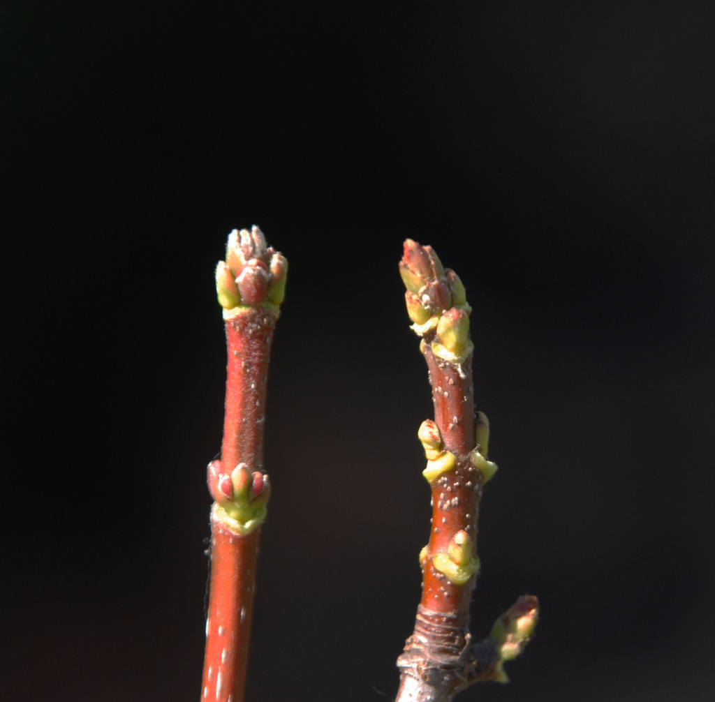 Acer rubrum Bud
