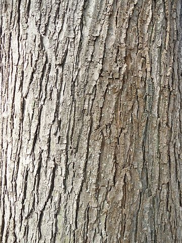 Older bark