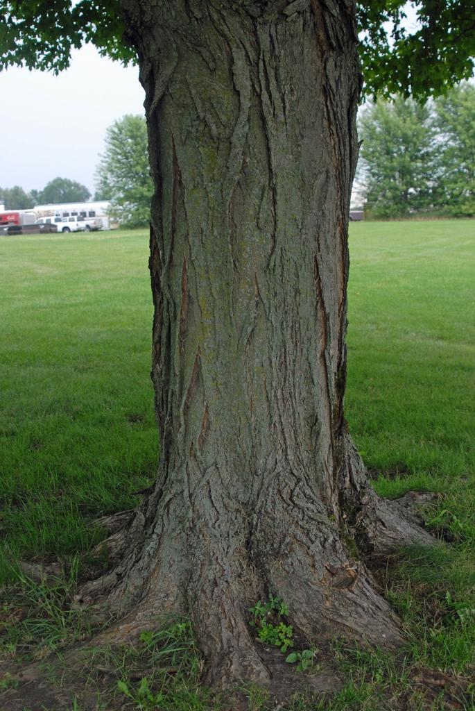 Acer saccharinum - bark