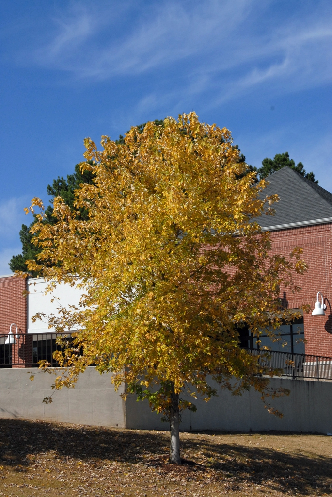 Acer saccharinum - full tree yellow fall color